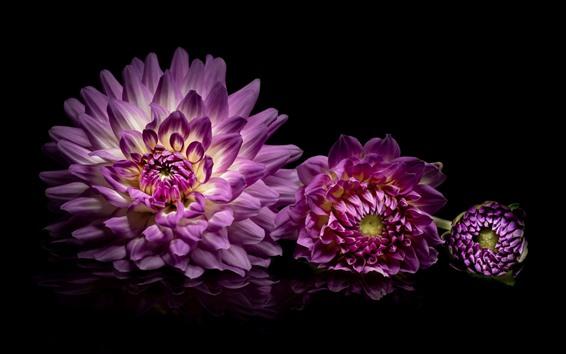 Обои Фиолетовый георгин, черный фон