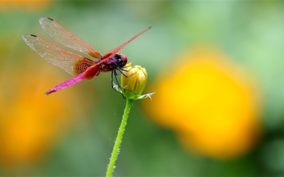 Wallpaper Red dragonfly, yellow flower
