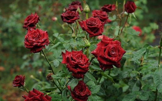 Papéis de Parede Rosas vermelhas depois da chuva, flores no jardim