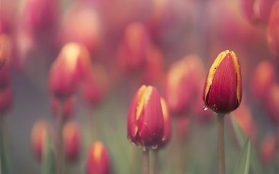 Обои Красные тюльпаны, капли воды, туманные