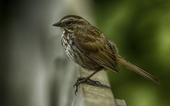 Papéis de Parede Pardal, pássaro, embaçado