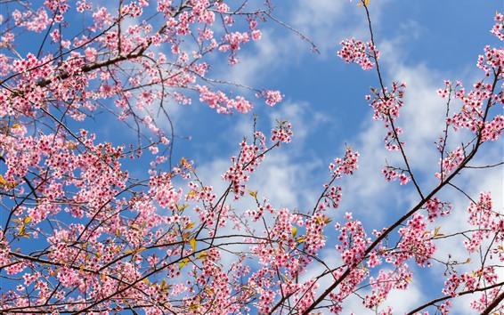 Papéis de Parede Primavera, sakura floração, flores cor de rosa, galhos