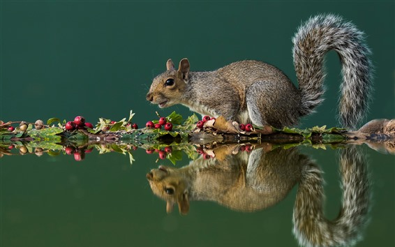 Wallpaper Squirrel, red berries, water reflection
