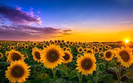Papéis de Parede Girassóis, campos, sol, verão, nuvens