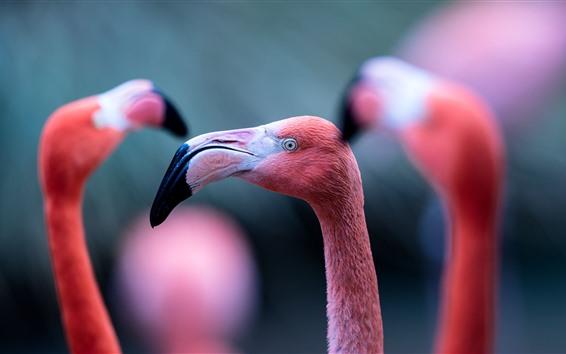 Papéis de Parede Três pássaros, flamingo, cabeça, bico, olhos