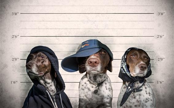 Fondos de pantalla Tres perros criminales, gorra, animales divertidos