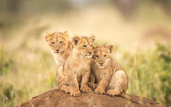 Fondos de pantalla Tres pequeños leones, cachorros