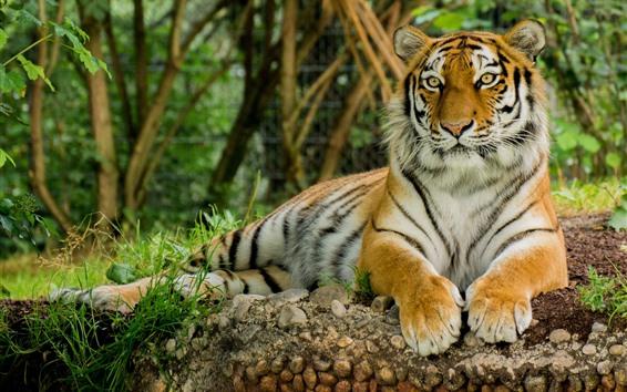 Обои Тигровый отдых, вид спереди, боке