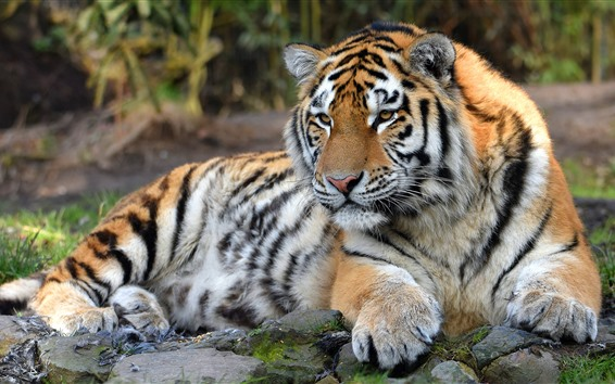 Wallpaper Tiger, wildlife, front view