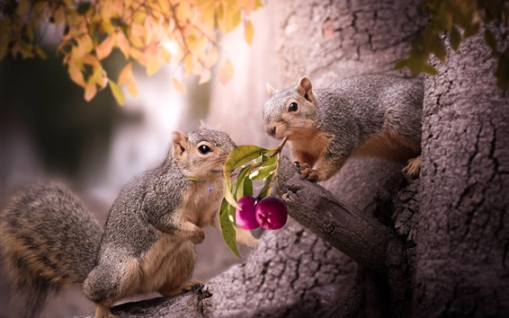 Fond d'écran Deux écureuils, fruits violets