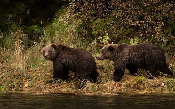 壁紙 2つの湿った茶色のクマ、川、草