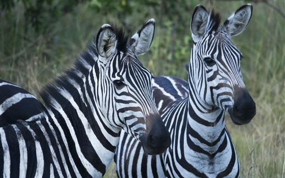 Wallpaper Two zebras