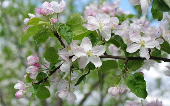 Fondos de pantalla Floración de flores de manzana blanca, primavera.
