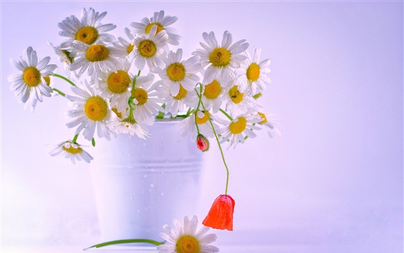 Wallpaper White chamomile flowers, bouquet, water droplets