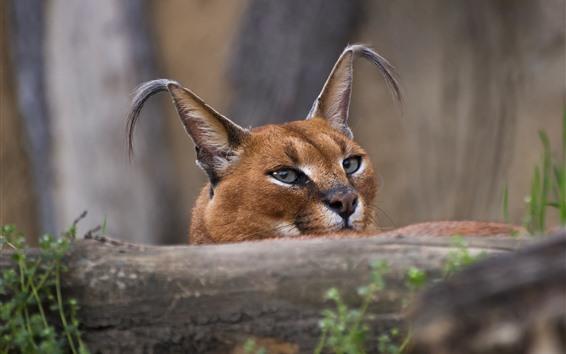 桌布 野生動物,獰貓,耳朵