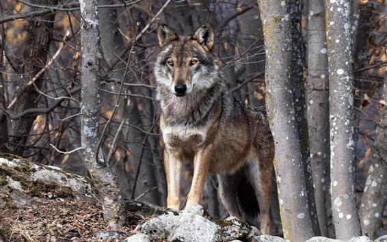 Papéis de Parede Lobo, floresta, animais selvagens