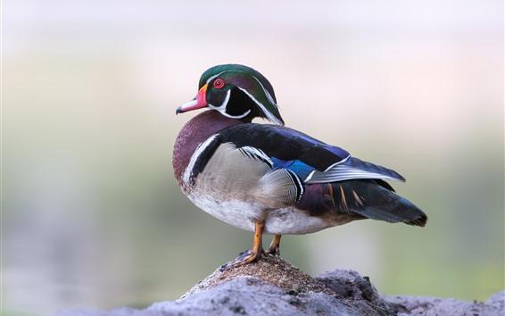 Papéis de Parede Pato de madeira, pássaro