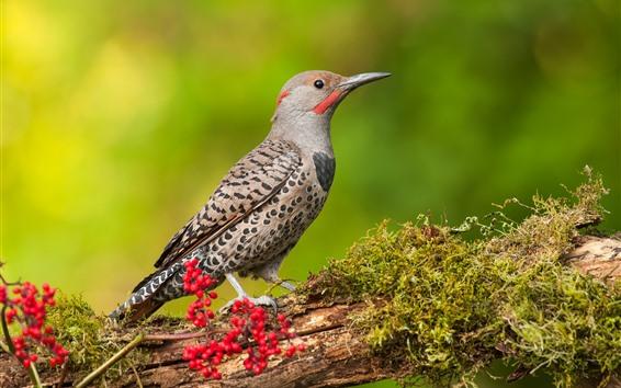 Wallpaper Woodpecker, bird, tree branch, red berries