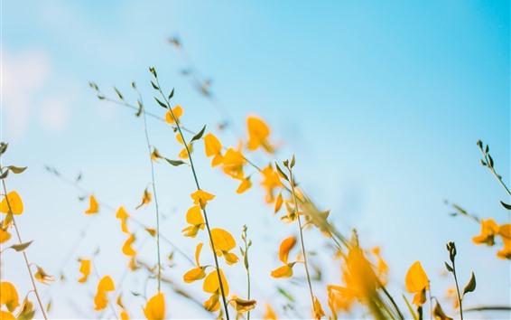 Fond d'écran Fleurs jaunes, fond de ciel bleu