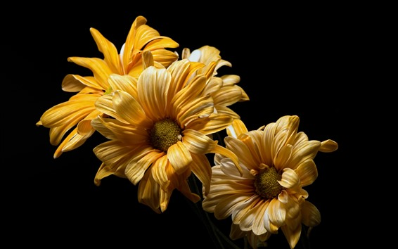 Wallpaper Yellow flowers close-up, black background