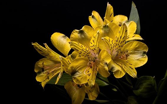 Papéis de Parede Flores de lírio amarelo close-up, fundo preto