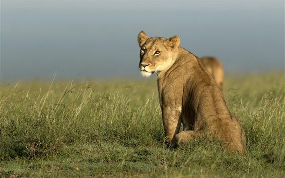 Wallpaper African, lioness look back, grass
