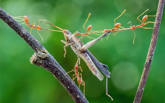 Wallpaper Ants hunting grasshopper