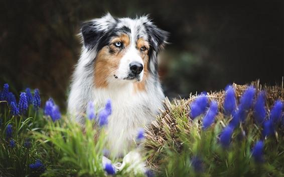 Papéis de Parede Pastor australiano, cachorro, flores azuis