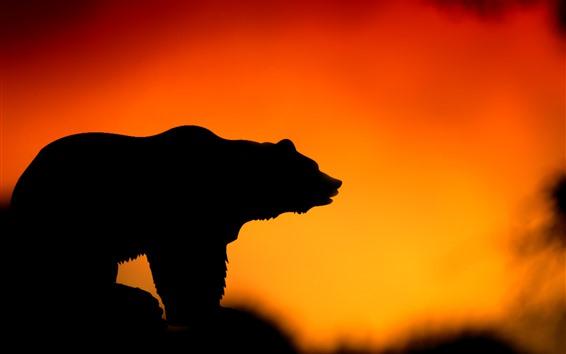 Wallpaper Bear, sunset, silhouette
