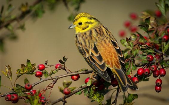 Wallpaper Bird, red berries, twigs
