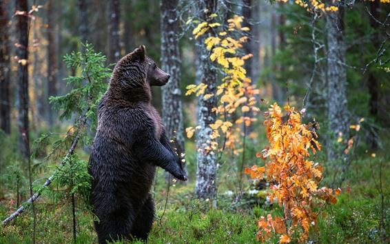 배경 화면 서있는 검은 곰, 나무, 단풍, 가을