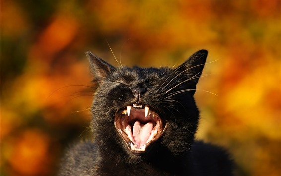 Wallpaper Black kitten yawn, tooth