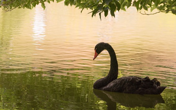 Papéis de Parede Cisne negro, lagoa