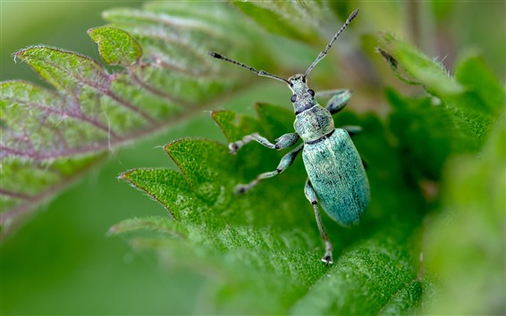 Wallpaper Blue beetle, insect, green leaves