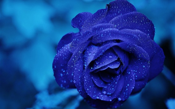 Wallpaper Blue petals rose, water droplets, blurry background