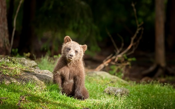 Wallpaper Brown bear cub, grass, wildlife