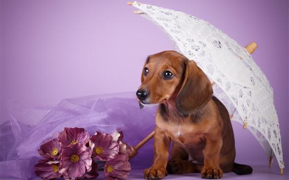 壁紙 茶色の犬、ダックスフント、傘、ピンクの花