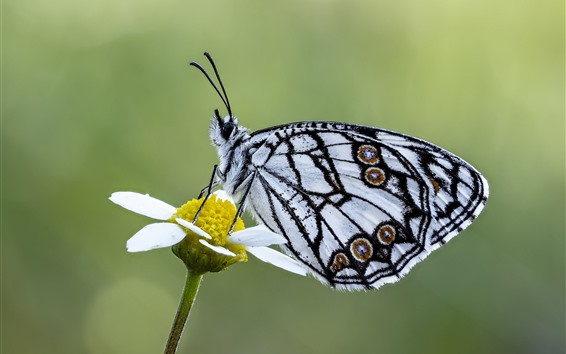 Wallpaper Butterfly, white petal flower, insect