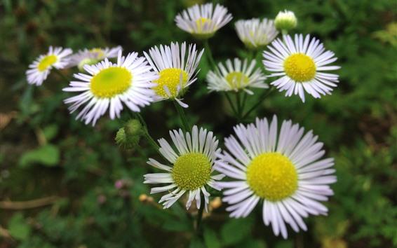 Wallpaper Chamomile, white petals, summer