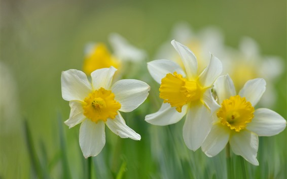 Papéis de Parede Narcisos, flores close-up, fundo desfocado