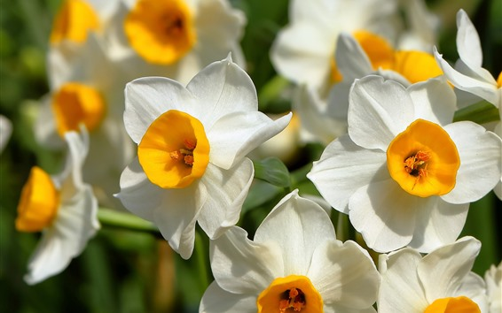 Обои Нарциссы, белые лепестки, цветы крупным планом