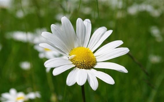 Fond d'écran Marguerite, pétales blancs, gros plan fleur