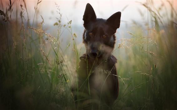 Обои Собака, трава, вид спереди, туманный