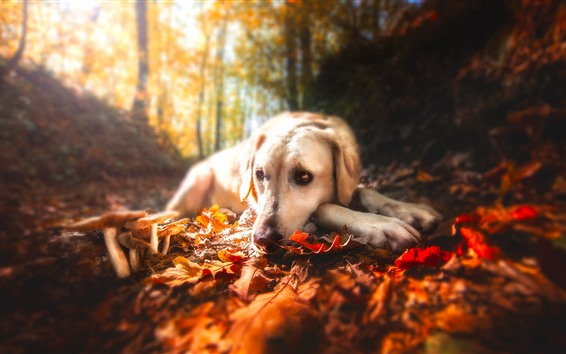 Wallpaper Dog, red leaves, mushroom