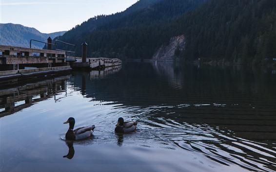 Papéis de Parede Patos, lago, água, ponte, manhã