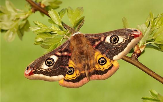 Wallpaper Emperor moth, butterfly, wings, twigs, leaves