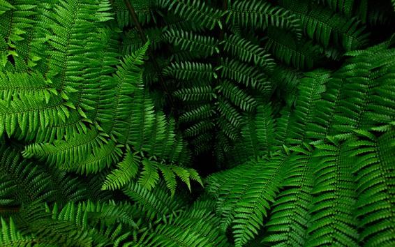Wallpaper Fern, green leaves, plants