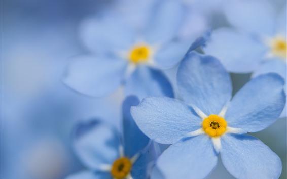 Wallpaper Forget-me-not, blue petals, flower close-up