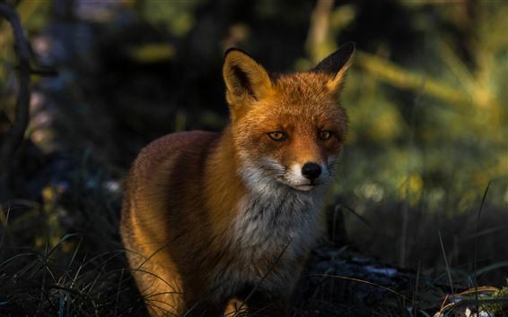 Papéis de Parede vista frontal de raposa, floresta, escuridão