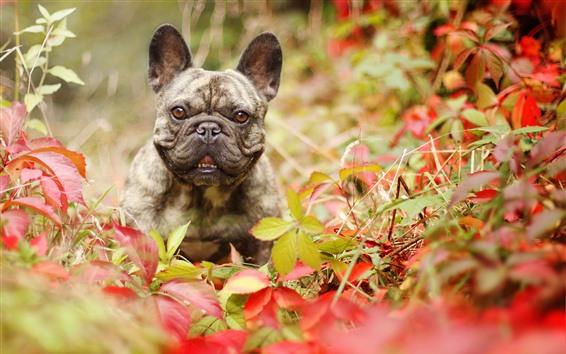 Wallpaper French bulldog, leaves, autumn